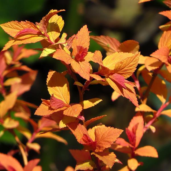 Spiraea japonica \'Goldflame\' C4L 30/40