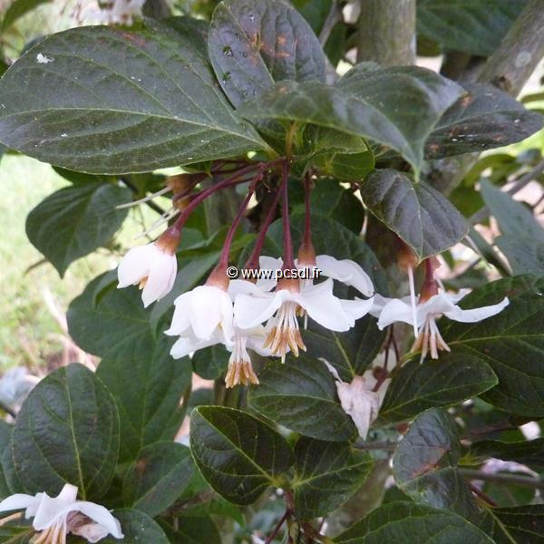 Styrax japonicus \'Purple Dress\' C5L 80/100