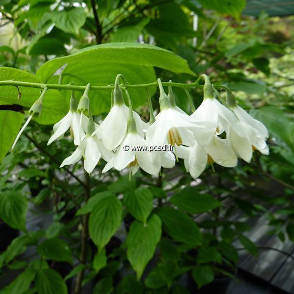 Styrax obassia C3L 40/60