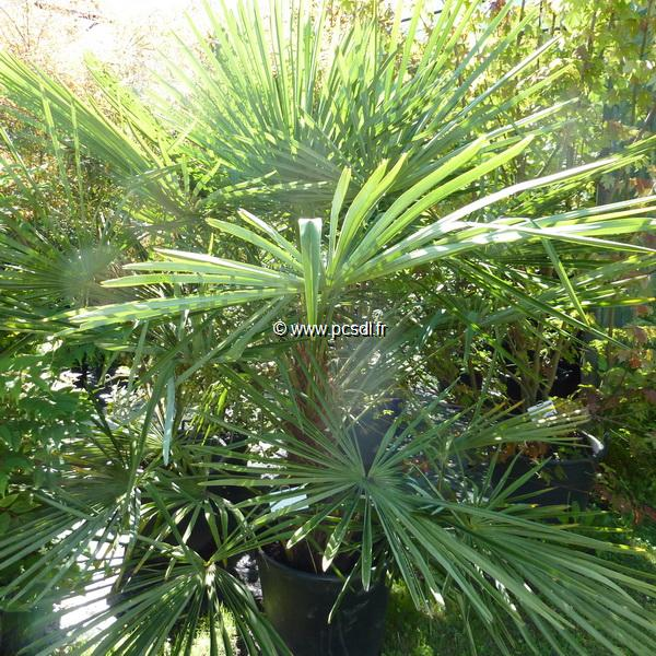 Trachycarpus fortunei C4L 30/40
