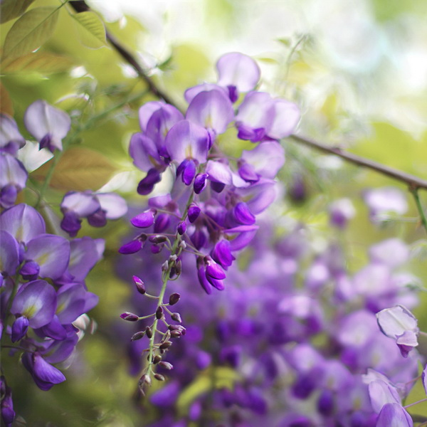 Wisteria floribunda \'Royal Purple\' C4L 60/80
