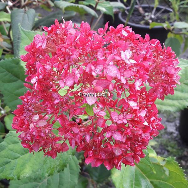 Hydrangea arborescens \'Ruby Annabelle\' ® C3L 30/40