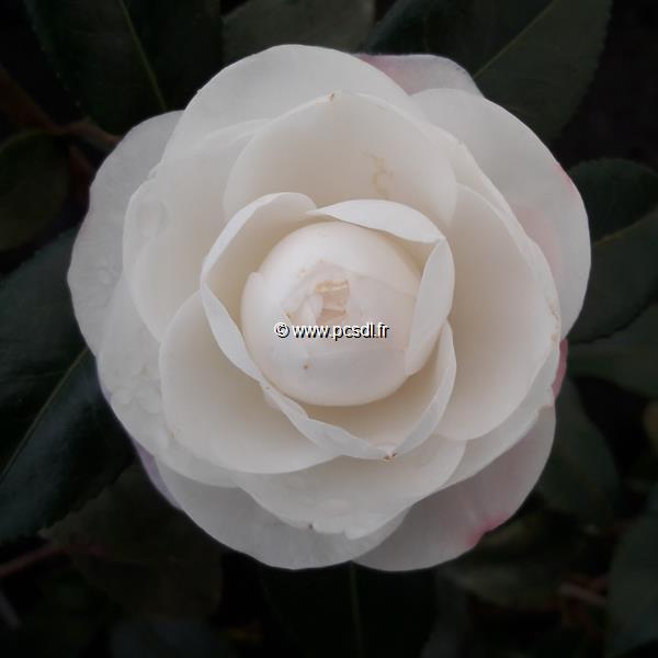 Camellia sasanqua \'Early Pearly\'