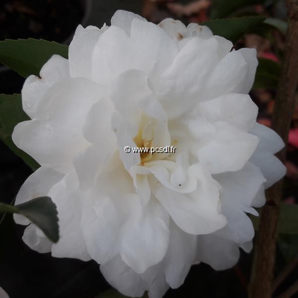 Camellia sasanqua \'Fuji no Yuki\' C2L 20/30