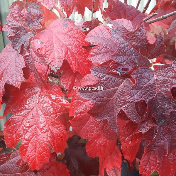Hydrangea quercifolia \'Pee Wee\' C3L 30/40