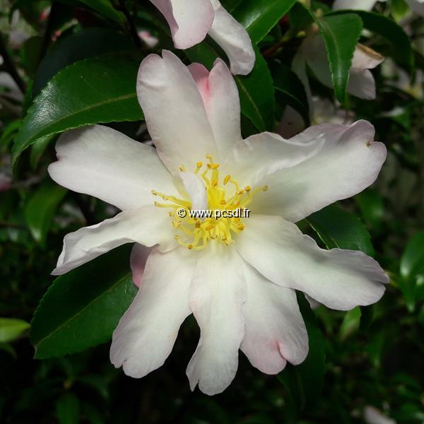 Camellia sasanqua \'Frosted Star\' C3L 30/40