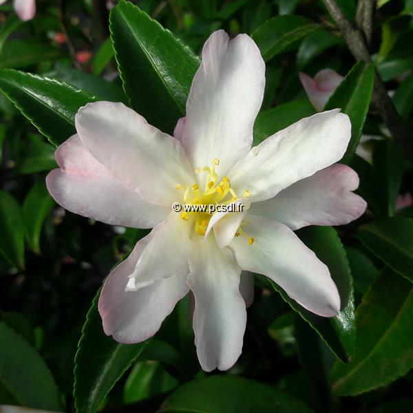 Camellia sasanqua \'Frosted Star\' C7L 40/60