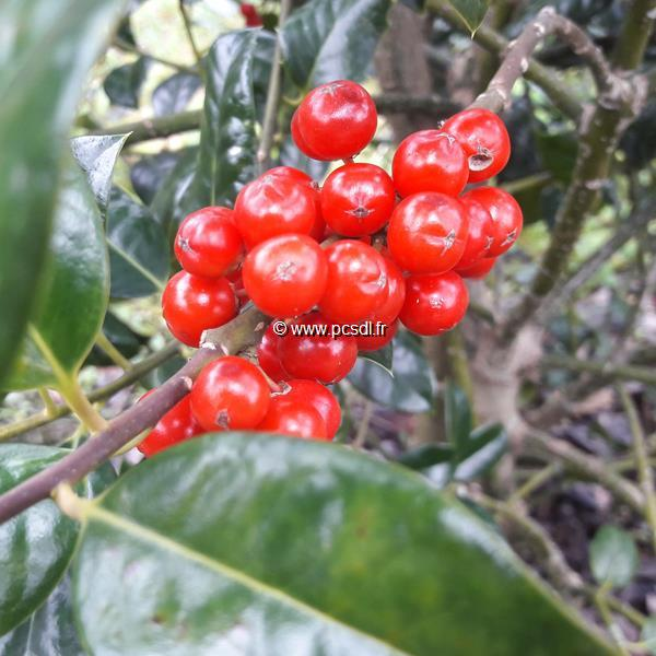 Ilex x meservae \'Blue Angel\' C4L 40/60