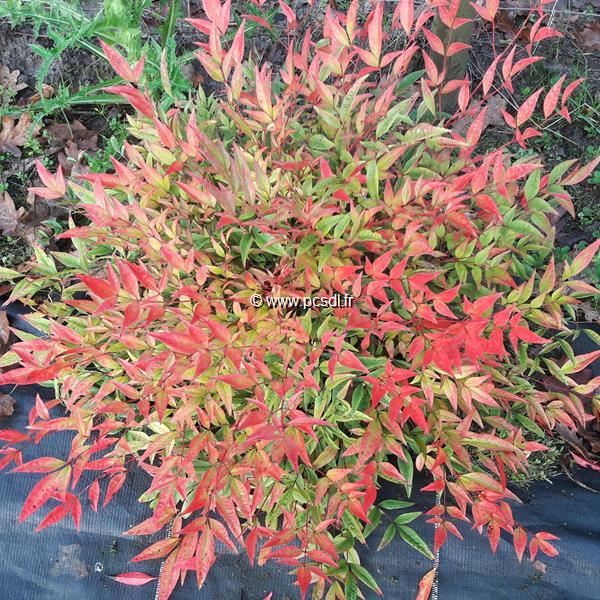 Nandina domestica \'Moon Bay\' ® C4L 20/30