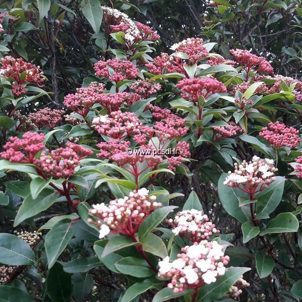 Viburnum tinus \'Spirit\' ® C4L 30/40