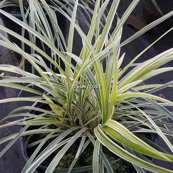 Ophiopogon japonicus \'Variegatus\' C3L
