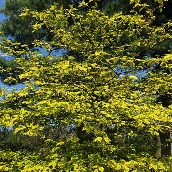 Cornus alternifolia \'Golden Shadow\' C4L 60/80