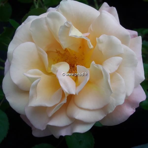 Rosa \'Cubana\' ® C4L 30/40