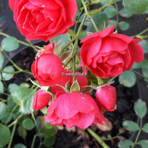 Rosa \'Toscana\' ® C4L 30/40