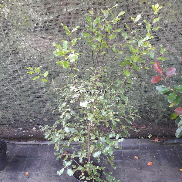 Pittosporum tenuifolium C4L 60/80
