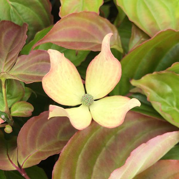 Cornus kousa \'Blooming Pink Tetra\' C4L 60/80
