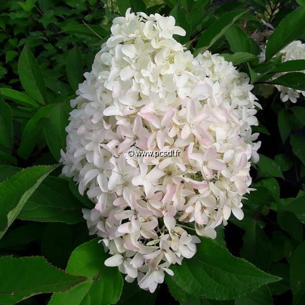 Hydrangea paniculata \'Skyfall\' ® C4L 40/60