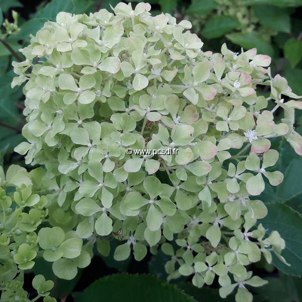 Hydrangea paniculata \'Romantic Ace\' ® C4L 30/40