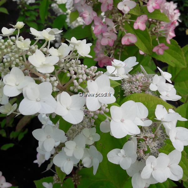 Hydrangea paniculata Mega Mindy (3)