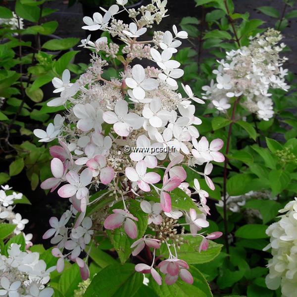 Hydrangea paniculata \'Angel\'s Blush\' C4L 30/40