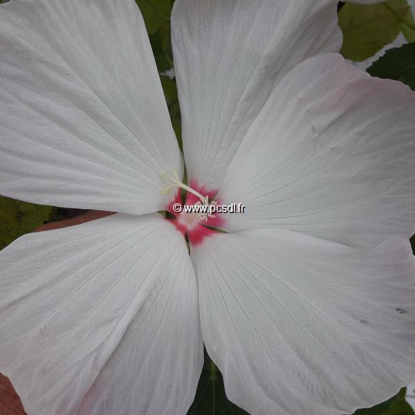 Hibiscus moscheutos \'Extreme White Eye\' ® C3L