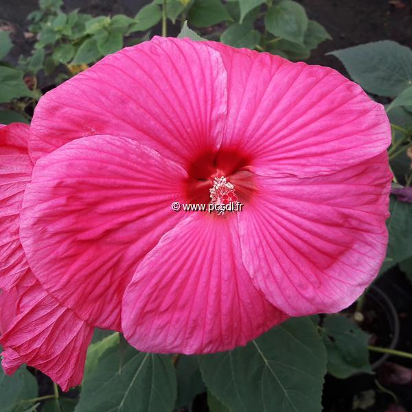 Hibiscus moscheutos \'Southern Belle\' (rose vif) C3L