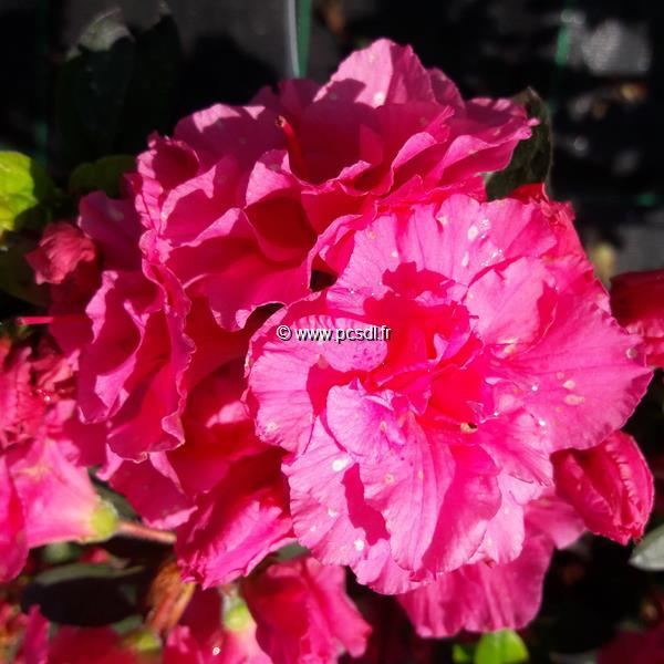 Rhododendron (azalée persistante) \'Walberton Purple Ruffles\' ® C7L 40/50