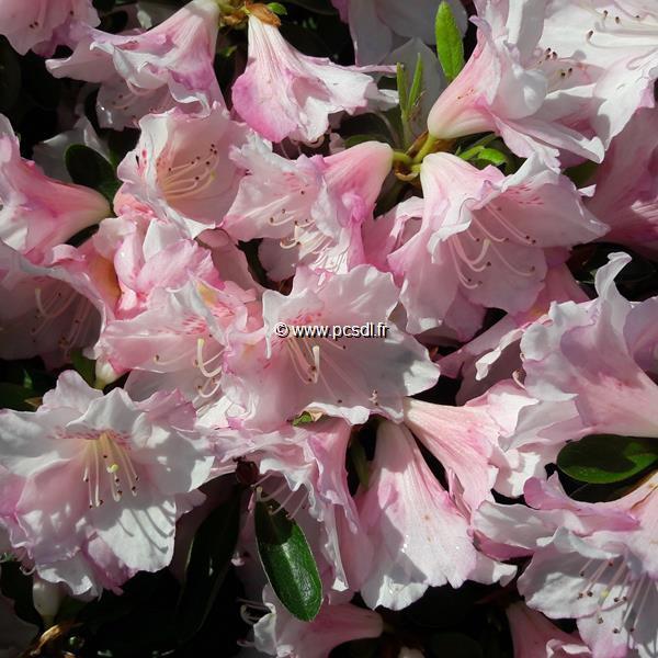Rhododendron (azalée persistante) \'Al\'s Picotee\' C7L 40/50
