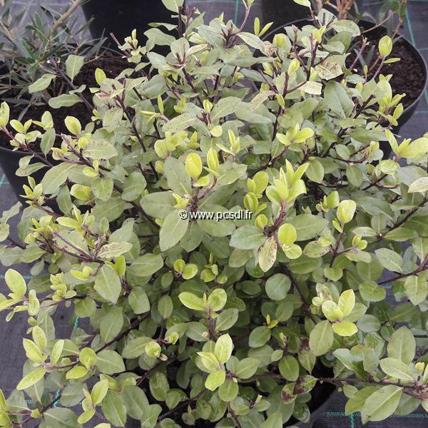 Pittosporum tenuifolium \'Pom Pom\' ® C4L 40/50