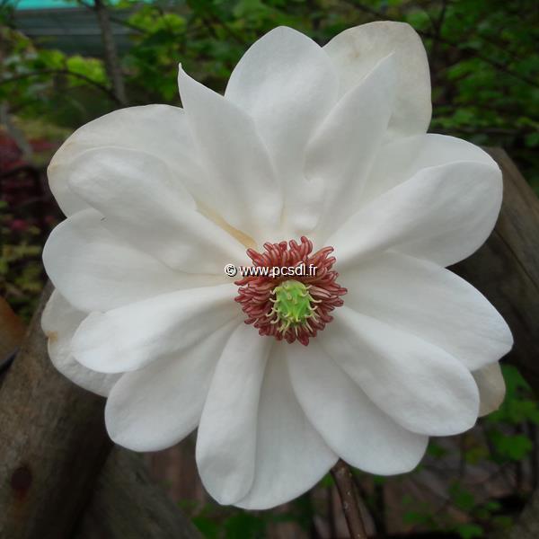 Magnolia wilsonii \'Eileen Baines\' ® C4L 60/80