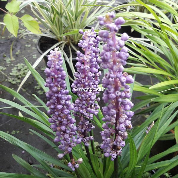 Liriope exiliflora C3L