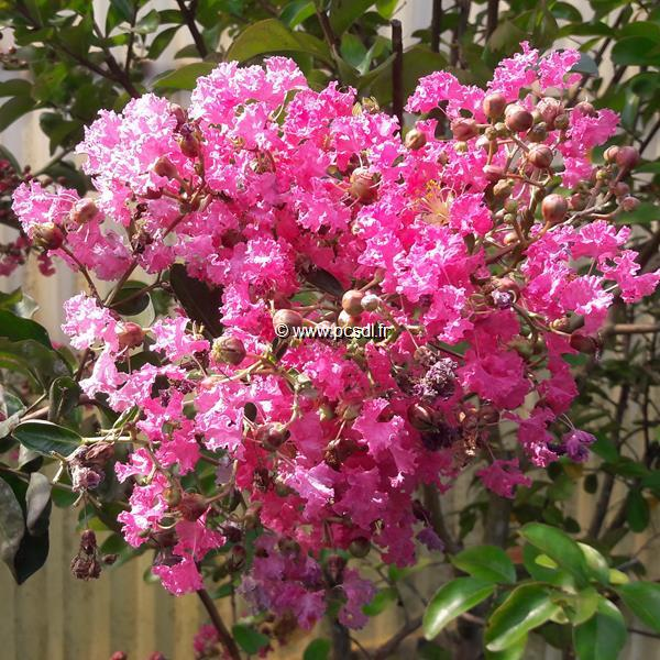 Lagerstroemia indica \'Rose Fuchsia\' C15L tige d\'1m