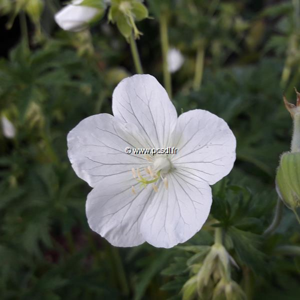 Geranium clarkei \'Kashmir White\' C3L