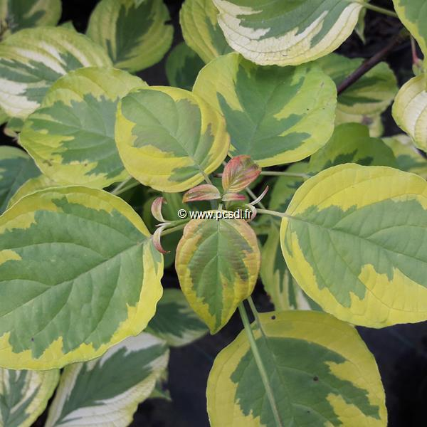 Cornus alternifolia \'Golden Shadow\' ® C4L 60/80