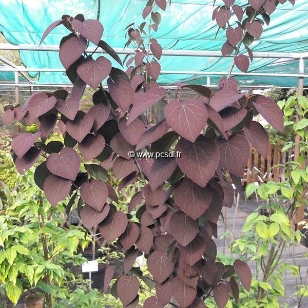 Cercidiphyllum japonicum \'Rotfuchs\' C7L 150/175