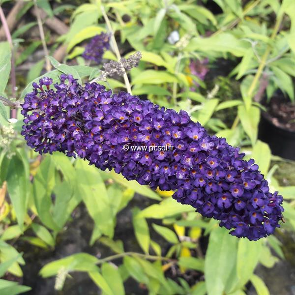 Buddleja davidii Black Knight