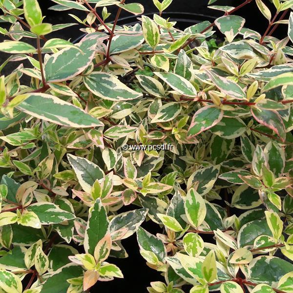 Abelia x grandiflora \'Tricolor Charm\' ® C4L 30/40