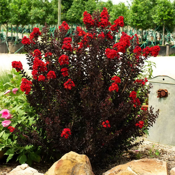 Lagerstroemia indica (black solitaire®) \'Red Hot\' C4L 80/100
