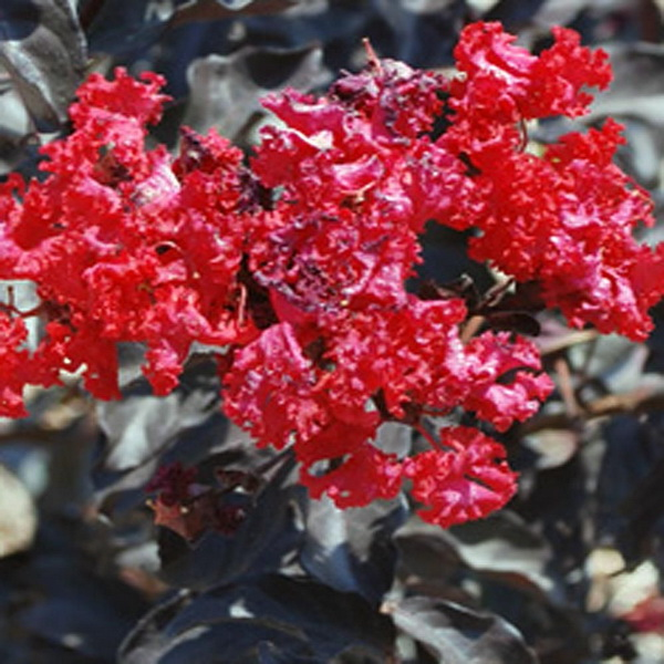 Lagerstroemia indica (black solitaire®) \'Red Hot\' C4L 40/60