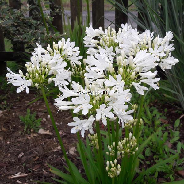 Agapanthus \'Little Dutch White\' ® C3L