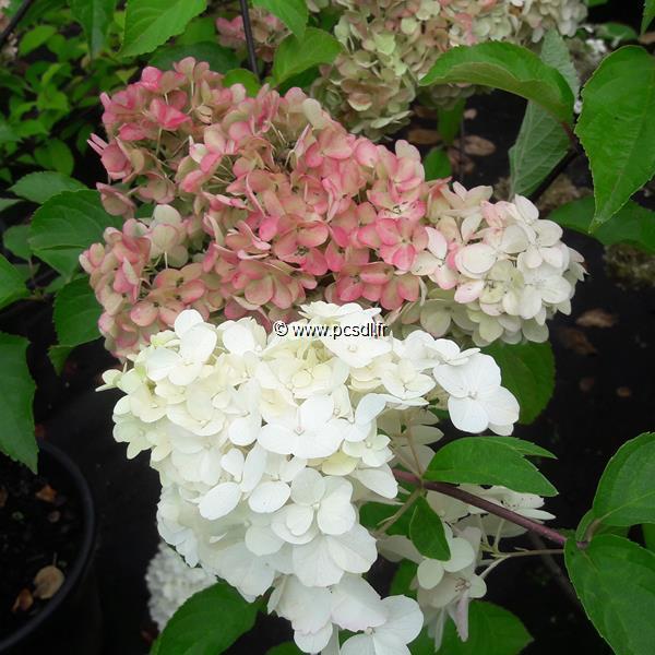 Hydrangea paniculata \'Fraise Melba\' ® C15L 80/100