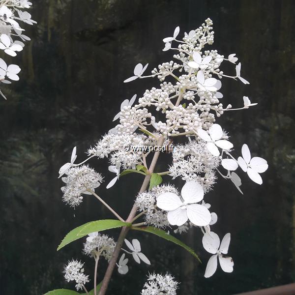 Hydrangea paniculata \'White Lace\' C15L 80/100