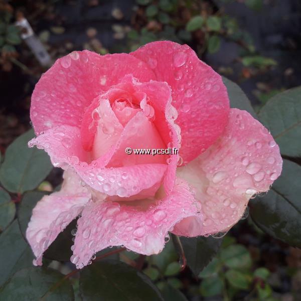 Rosa \'Bornéo Odore\' ® C4L 40/60