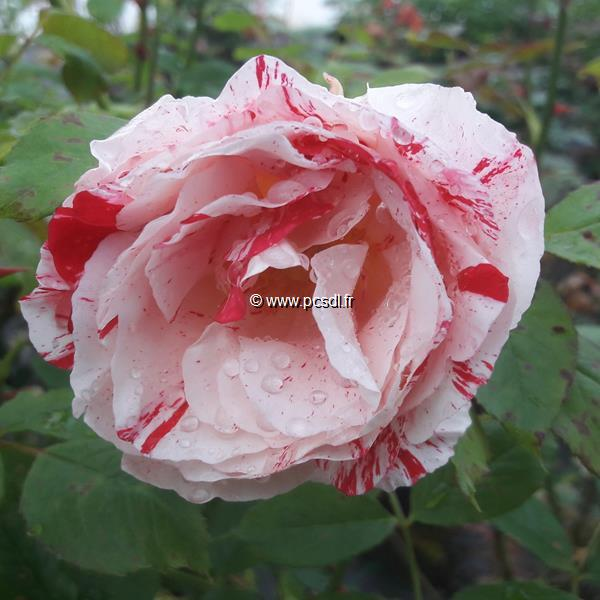 Rosa \'Scentimental\' ® C4L 60/80