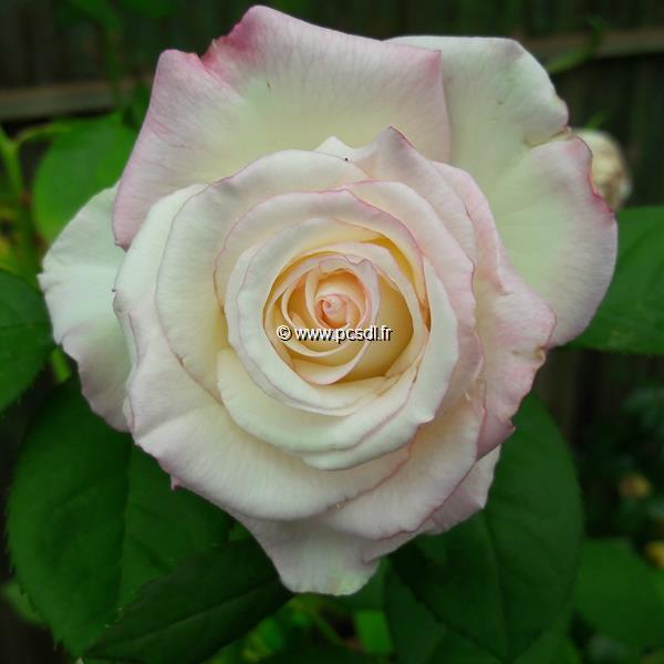Rosa \'Moonstone\' ® C4L 80/100