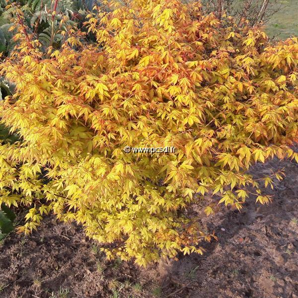 Acer palmatum \'Orange Dream\'