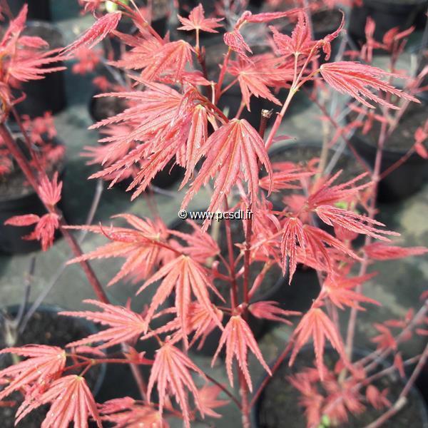 Acer palmatum \'Phoenix\' C4L 40/60