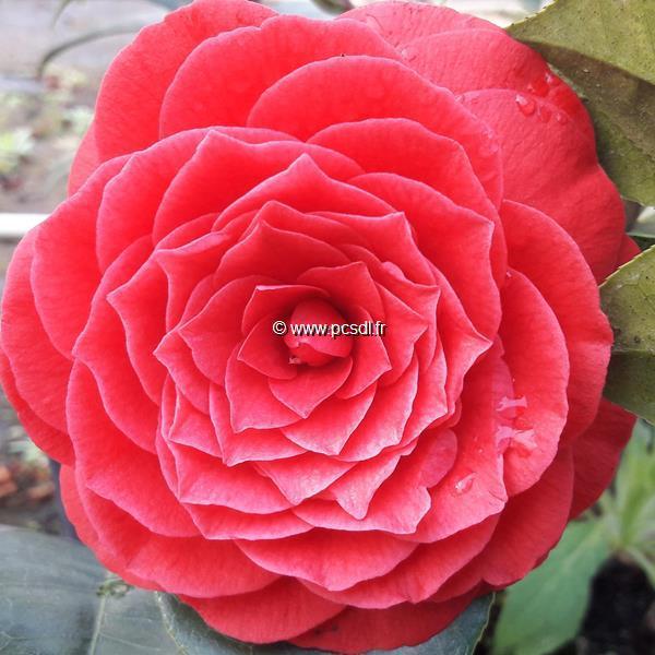 Camellia x Black Lace