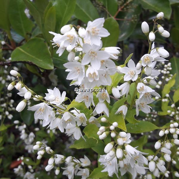 Deutzia gracilis \'Aureovariegata\' C3L 30/40