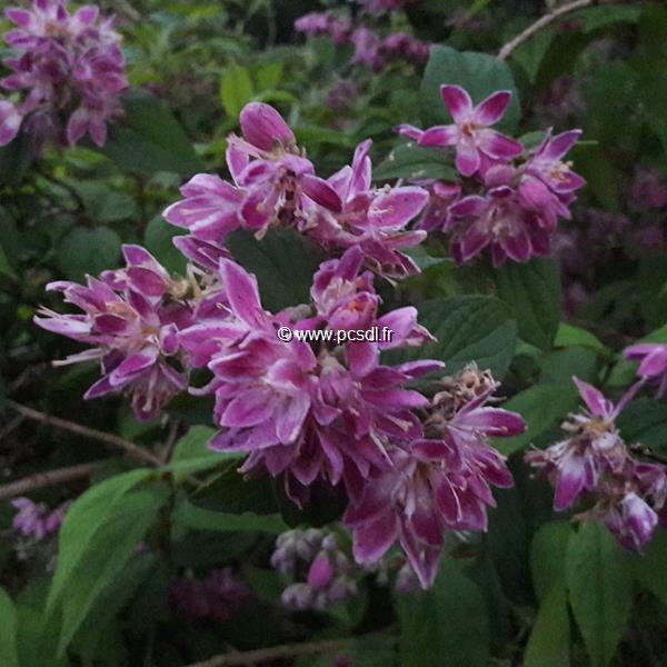 Deutzia x hybrida \'Perle Rose\' C4L 40/60
